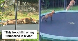 People Are Sharing Photos Of Foxes That Paid Them A Visit (13 Pics)